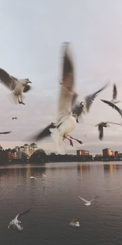 Seagulls flying over lake