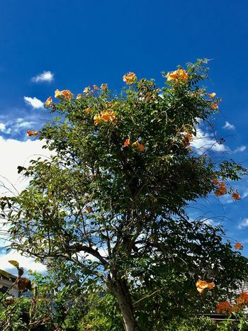 Subject : A Chinese Creeper Twining around a Tree against the Blue Sky. Tree Growth Flower Nature Low Angle View Sky Beauty In Nature Day No People Branch Plant Cloud - Sky Fragility Freshness Outdoors Flower Head Close-up . Taken at Kurose in Higashi-Hiroshima , Japan on Aug. 13, 2017 ( Submitted on Aug. 21, 2017 )
