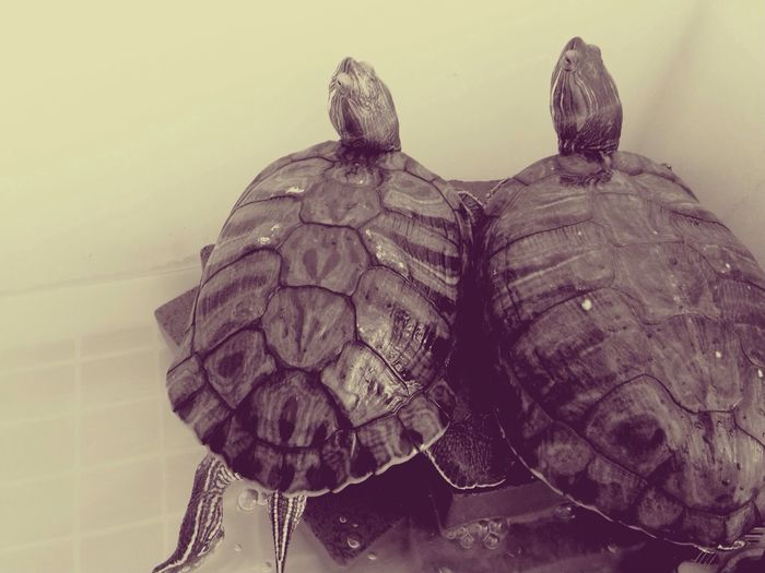 How do you see? Very Close Turtle Love Each Other