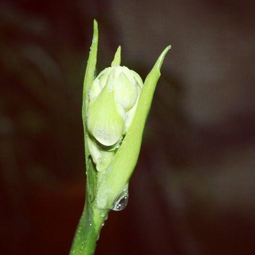 Pucuk bunga sedap malam. Sedapmalam Flowers Bunga Green_green hijau kuncupbunga