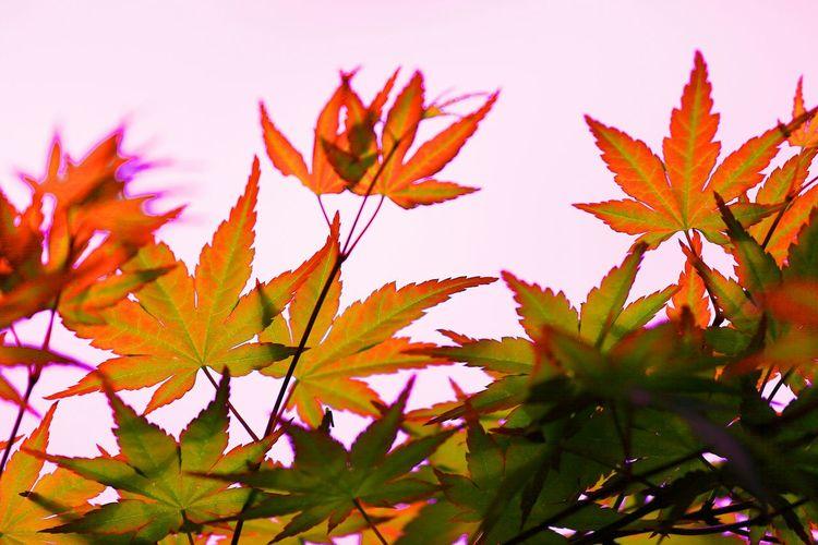 ツツジを……ってか、ツツジ出す気あるのか?σ(^◇^;)オレ ってか、この葉っぱも色が変やろ?(;゚ロ゚) Taking Photos Enjoying Life Leaf Leafs Colored Leaves Trees Silhouette シルエット部 ツツジはどこ? Tree Silhouette