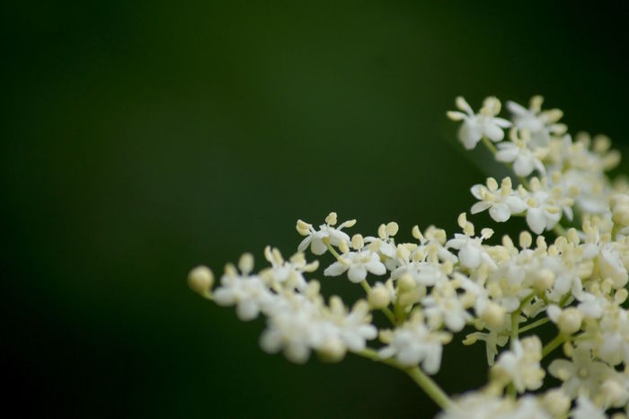 Beauty In Nature Blooming Blossom Close-up Elderberry Blossom Elderberry Flowers Elderberry In Bloom Elderflower Flower Flower Head Flower Of Elderberry Flower Of Sambucus Nigra Fragility Freshness Growth In Bloom Nature Petal Sambucus Sambucus Nigra Softness White Color