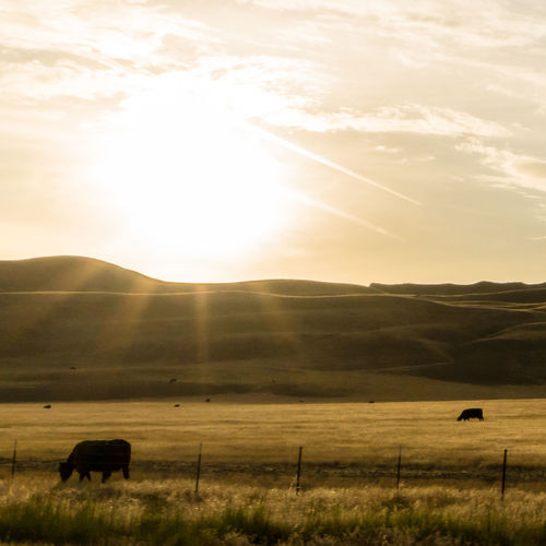 Grazing - California Cow Cows Cows!!! Cows Grazing Cowsofinstagram Cows🐮 EyeEm Best Shots EyeEm Nature Lover Eye4photography  EyeEm Gallery EyeEm Best Edits EyeEmBestPics Animals Animal Sunset Sunsets Mountain Range Mountain Mountains Beauty Nature Picoftheday Photooftheday Photography