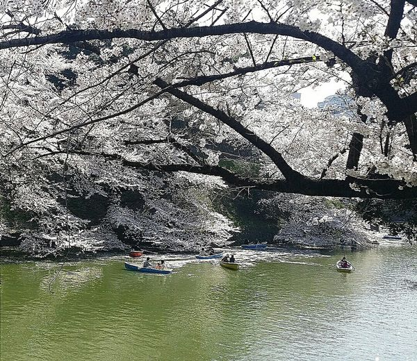 Spring 2015 Chidorigafuchi Imperial Palace Moat 樱花 Sakura view from Chidorigafuchi Pedestrian Path Tokyo Japan Travel Photography