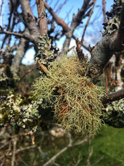 Lichen on branches Moss On Trees Moss & Lichen Lichens On A Tree Limb Lichens Plant Tree Nature Growth No People Day Beauty In Nature Branch Close-up Low Angle View Tranquility Sunlight Green Color Outdoors Selective Focus Focus On Foreground