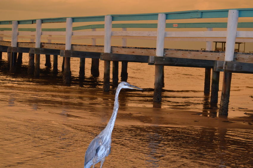Animal Themes Animal Walking Pier Heron Florida Harbor Low Tide Bird Bird Photography Nature Stormy Weather Reflection No Edit/no Filter United States Dusk Ominous Sky Wood Pattern Pieces Clouds Sand Water Beach Landscapes With WhiteWall