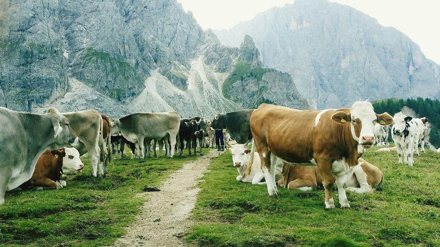 Pascolo mucche