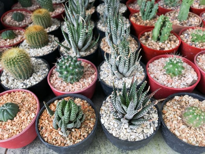 High angle view of potted succulent plants at nursery