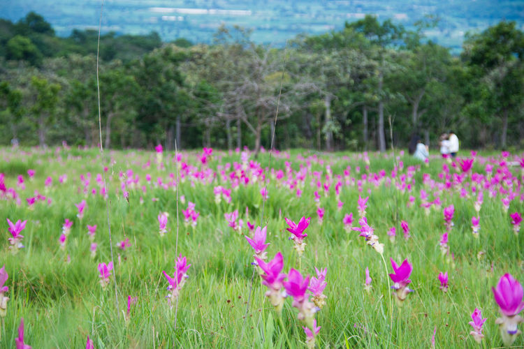Pink field of Siam tulip at Chaiyaphum Province, Thailand. Beauty In Nature Close-up Field Flower Flower Head Focus On Foreground Freshness Grass Green Color Growth Landscape Lush Foliage Meadow Nature No People Outdoors Pink Color Plant Rural Scene Scenics Siam Tulip Sky Summer Tranquil Scene Tree