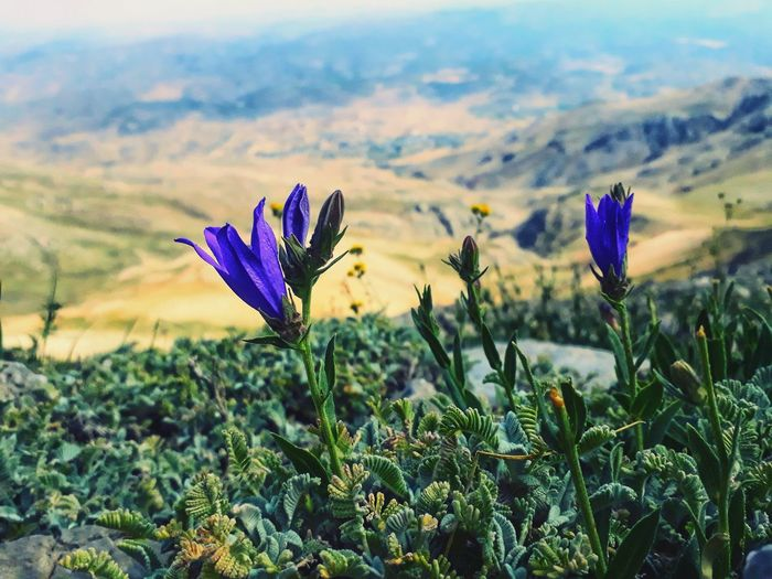 #NurhakMountain #peak #3090 metre Mountain Peak Flower Head Flower Multi Colored Crocus Rural Scene Sunset Uncultivated Social Issues Purple Field Rocky Mountains Blossom Plant Life