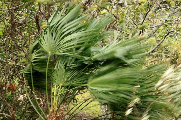⭐︎和棕梠 ⭐︎Scientific name : Trachycarpus fortunei ⭐︎English name : Chusan Palm, Windmill Palm Trachycarpus Fortunei Chusan Palm Windmill Palm 和棕梠 Japan Strong Wind