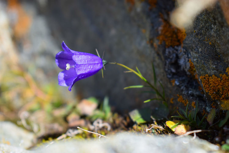 Bellflower bluebell , campanula alpina, in a rocky place in the alps