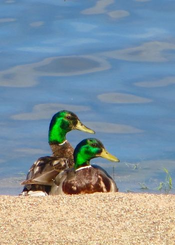 Ducks Birds Of EyeEm  Bird Portait Bird Photography EyeEm Nature Lover :) Beautiful Ducks Mallard Ducks Mallard Duck Green Head
