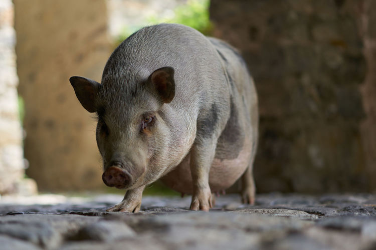Pig on land