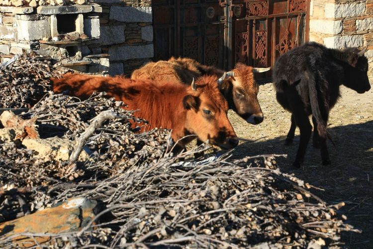 Short moment in time Animal Themes Animals Animal Head  Animal Wildlife Day Brown Color Livestock Cattle Field Land No People Focus On Foreground Outdoors Cow Close-up Livestock Farm Animal Livestock Tag Domesticated Animal Tag Dairy Farm Animal Pen