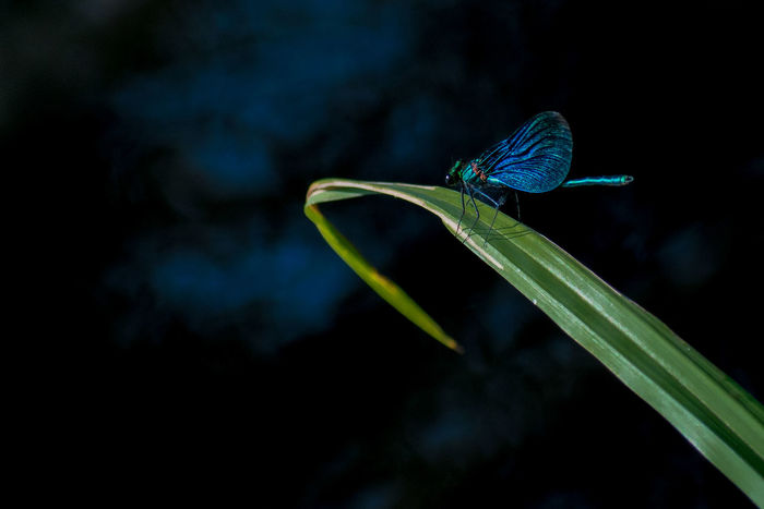 Dragonfly Animal Themes Animals In The Wild Beauty In Nature Blue Close-up Focus On Foreground Fragility Green Color Insect Metallic Nature No People One Animal Outdoors Plant Ringflash