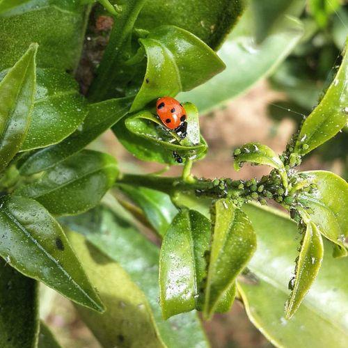Ladybird Photographerhibo Photography Ladybird Ladybirds Ladybug Ladybugs LadyBugLove Macro Macro Beauty Macrophotography Macro_captures Macroshot Garden Grass Leaf Flowers Sensitive Outdoor