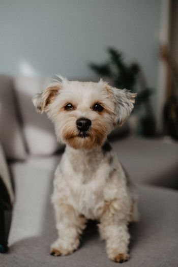 🐶 Domestic One Animal Mammal Domestic Animals Pets Animal Themes Dog Canine Animal Indoors  Vertebrate Looking At Camera Portrait Home Interior Focus On Foreground No People Cute Lap Dog Sitting Sofa Small Animal Head