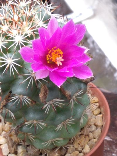 High angle view of pink cactus flower in pot
