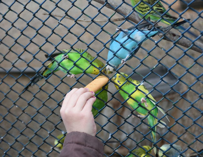Cropped hand of person feeding macaws in cage