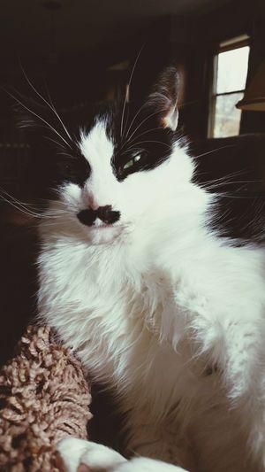 Cat Meow Hitler Cat