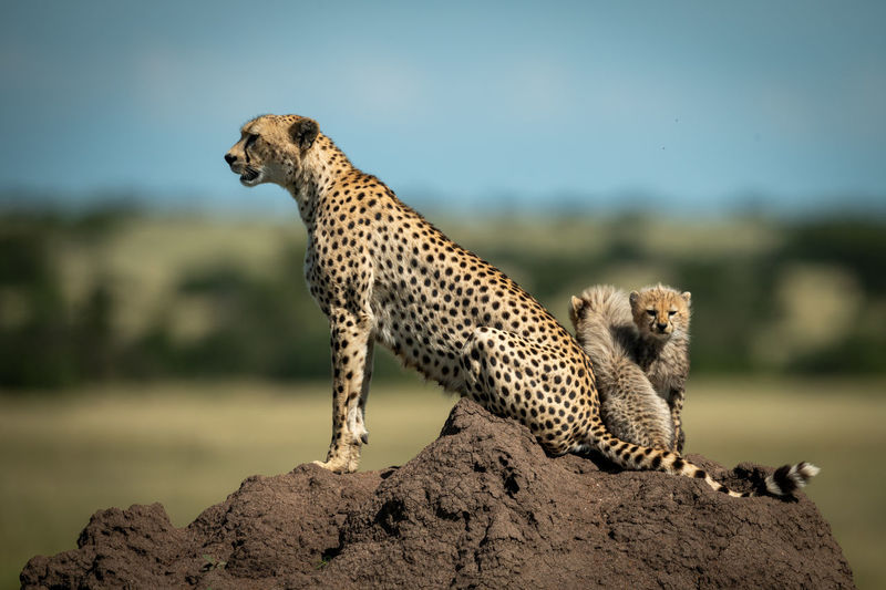 Cheetah with cubs on rock formation