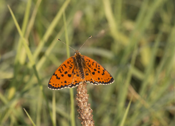 melitaea trivia Melitaea Orange Trivia Animal Themes Animals In The Wild Beauty In Nature Butterfly Butterfly - Insect Close-up Day Farfalla Insect Insect Photography Melitaea Trivia Nature No People One Animal Outdoors Plant