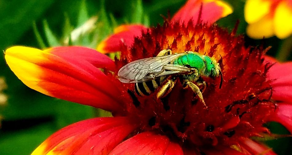 Flower Insect Nature Plant Petal Animals In The Wild Fragility Beauty In Nature Animal Themes Red Freshness Flower Head No People Outdoors Pollination Close-up Growth Power In Nature Beauty In Nature Sweat Bee