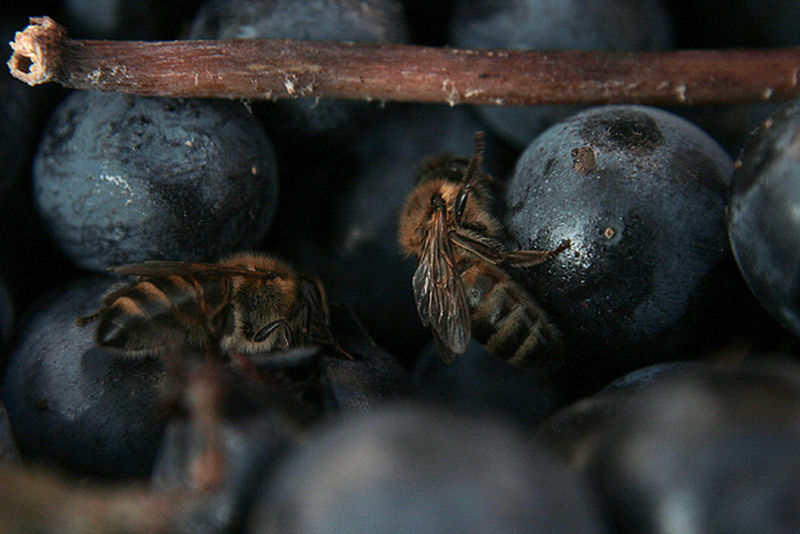 Bees Animal Themes Animals In The Wild Close-up Day Grapes Nature No People Outdoors Saperavi