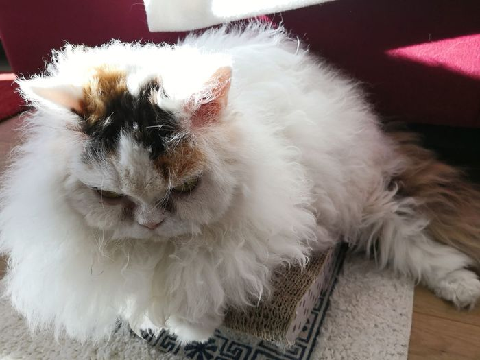 Selkirk Rex cat relaxing on pet bed Selkirk Rex Cat Selkirk Rex Pets Portrait Feline Domestic Cat Cute Animal Hair Looking At Camera Close-up Sleeping Teeth Whisker Fluffy Cat Tabby Napping Pet Bed At Home Tabby Cat Paw Kitten Mouth Animal Eye