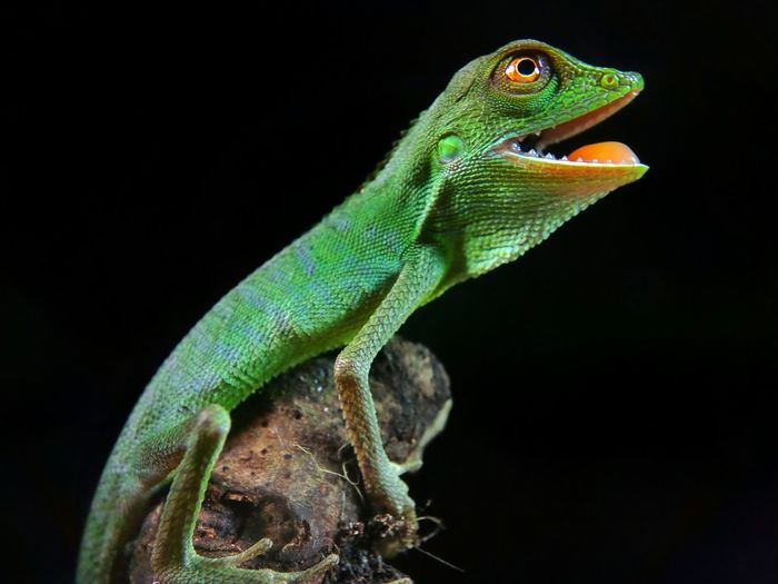 Close-up of chameleon on branch against black background