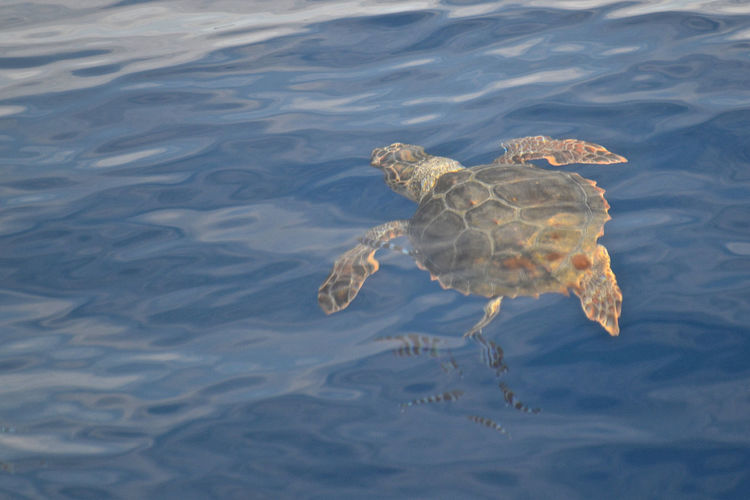 Animal Caretta