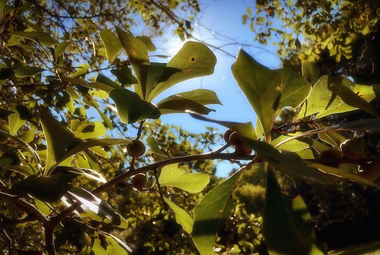 Acorns Leaf Tree Branch Growth Summer Nature Low Angle View Sunlight Green Color Outdoors Sky Clear Sky Beauty In Nature Relaxing Taking Photos Shadow And Light Textures And Surfaces Walking Around