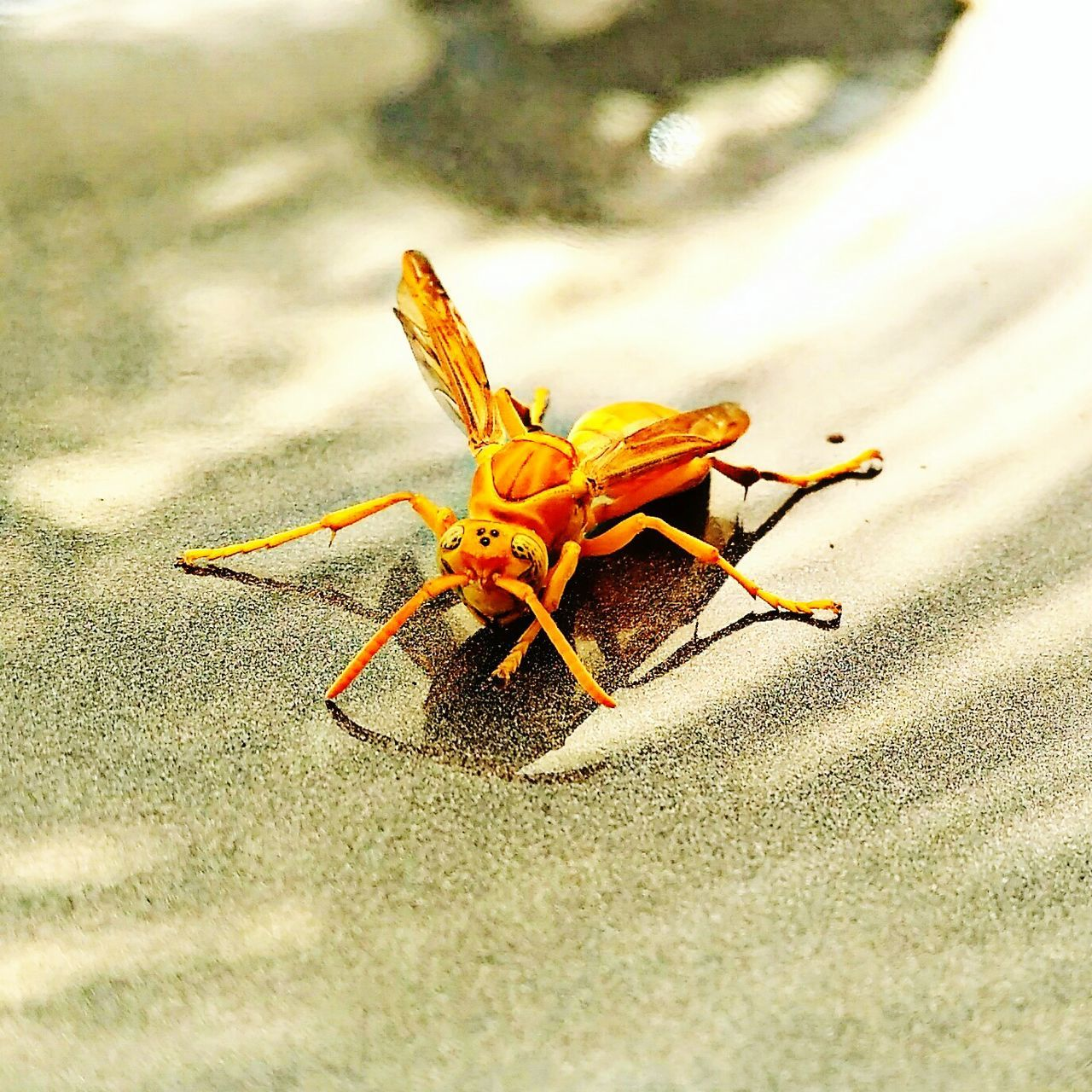 animal themes, animals in the wild, insect, one animal, day, no people, close-up, animal wildlife, outdoors, sunlight, sand, beach, nature, grasshopper