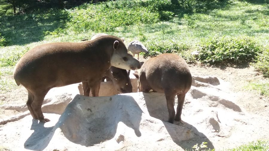 EyeEm New Here Tapir Anta Animal Themes Outdoors Beauty In Nature Sunlight Zoo No People EyeEmNewHere