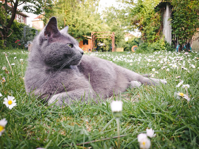 I am a Queen Animal Themes Comfortable Daisies Elegance Beauty Domestic Animals Garden Grass Grey Cat Home Mammal Nature No People One Animal Outdoors Pets Spring Pets Corner Furry Whiskers Low Angle View Relaxation Time Side Portrait Copy Space Green Eye Feline Portraits Place Of Heart