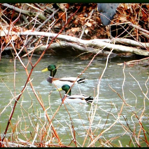 Ducks Animal_snapturez Love_natura Naturesbeauty_creeks fiftyshades_of_nature igers_of_wv bns_ladies bestnatureshots ipulledoverforthis westvirginia wv_igers nature_cuties rural_love tgif_nature shotwithlove