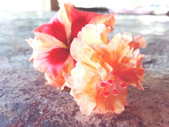 Flower Head Flower Hibiscus Red Pink Color Petal Water Springtime Peony  Stamen