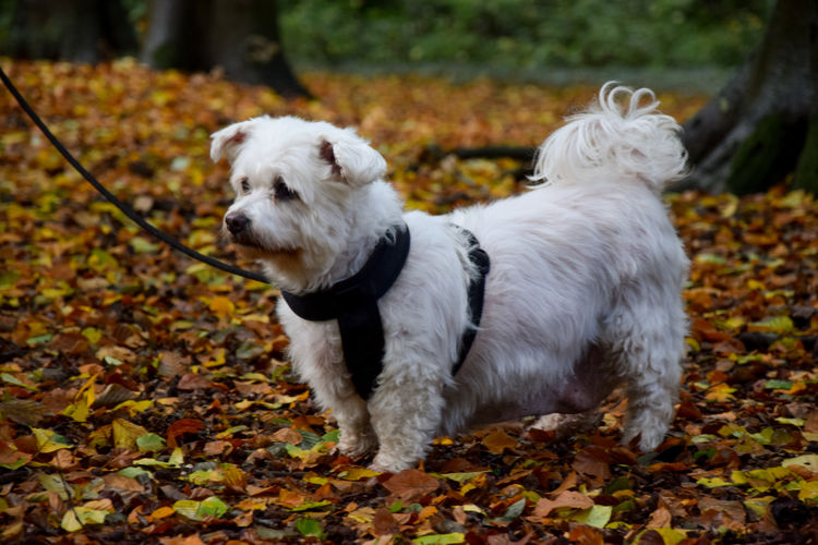 White dog in autumn leaves