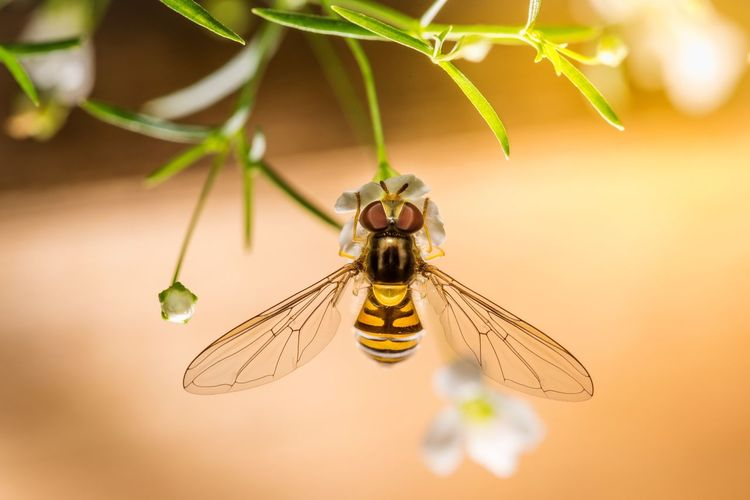 Hover fly Macro Macro_perfection North East EyeEm Gallery EyeEm Masterclass EyeEm Of The Week Nikon Hover Fly Insect Close-up Animal Themes Invertebrate Animals In The Wild Animal One Animal Animal Wing Animal Wildlife Beauty In Nature Nature Hanging Focus On Foreground Plant
