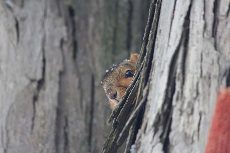 I see you! Squirrel Animals Small Animal Animal Wildlife Tree Trunk Close-up Looking At Camera Outdoors Animal Themes First Eyeem Photo