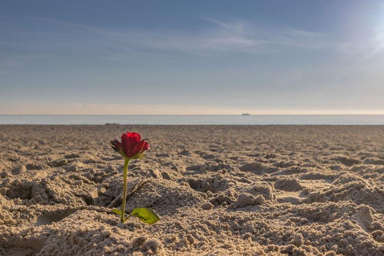 Red poppy flower on beach against sky