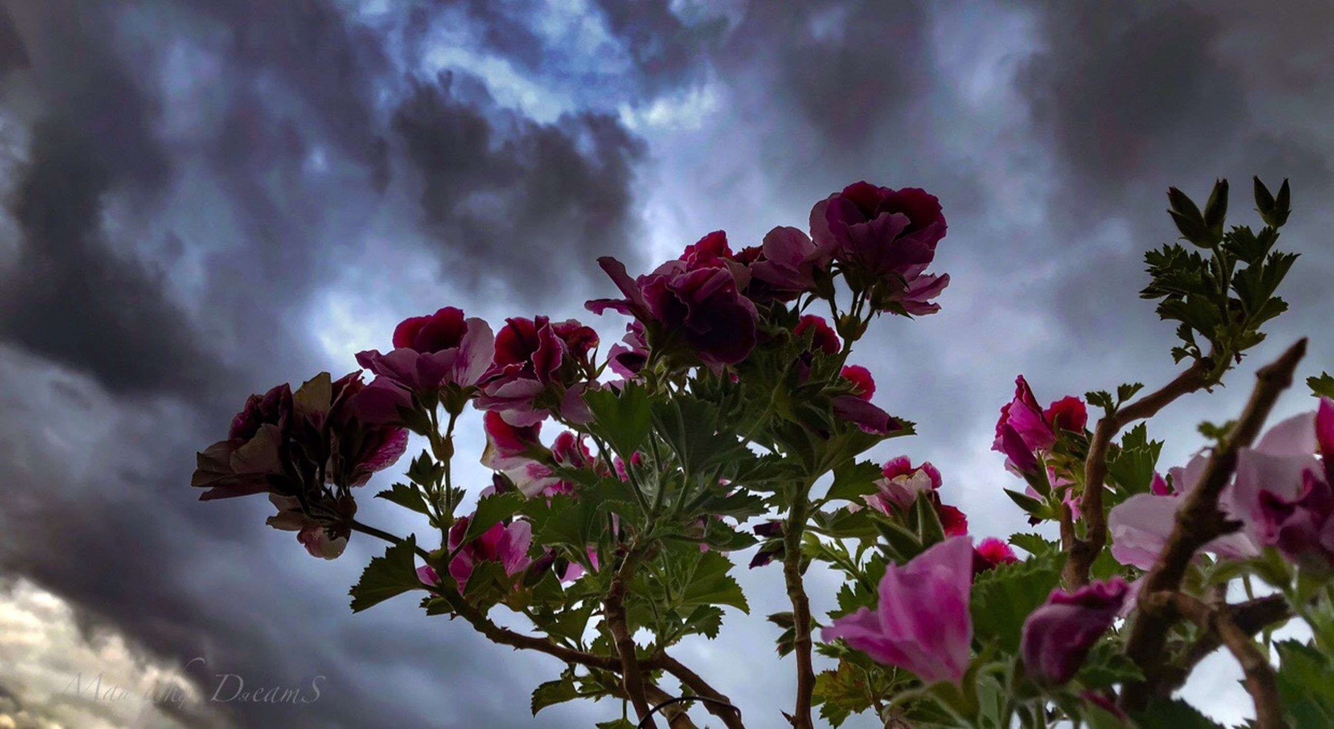 flower, flowering plant, plant, beauty in nature, growth, fragility, cloud - sky, sky, freshness, vulnerability, pink color, nature, petal, close-up, no people, low angle view, day, tree, flower head, outdoors