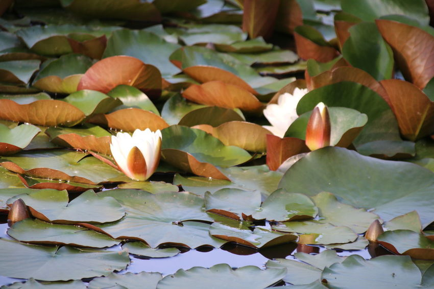 Flower Head Flower Water Lotus Water Lily Leaf Floating On Water Plant Part Water Lily Close-up Plant