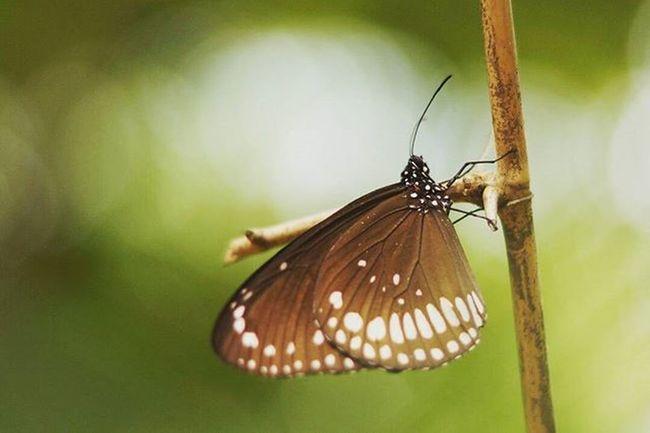 Butterfly Butterfly Commoncrowbutterfly Bokeh @ponrajanvikram Nature Commoncrow India Ponrajanvikram Halvat
