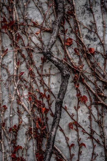 Ivy Tree Plant Branch Nature No People Leaf Dark