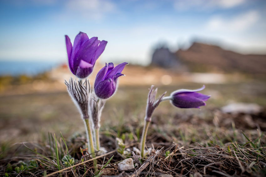 Beauty In Nature Close-up Crocus Day Field Flower Flower Head Flowering Plant Focus On Foreground Fragility Freshness Growth Inflorescence Iris Land Nature No People Outdoors Petal Plant Purple Vulnerability