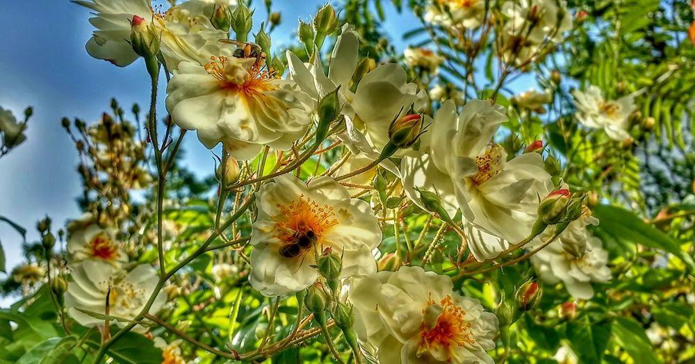 Rose Tree Roses Roses🌹 Bee Bobbie James