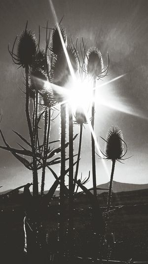 Thistles in the Summer silhouetted by the rising sun. Light And Shadows Creative Photography Beautiful Nature Naturephotography Wildlife & Nature Blackandwhite Photography