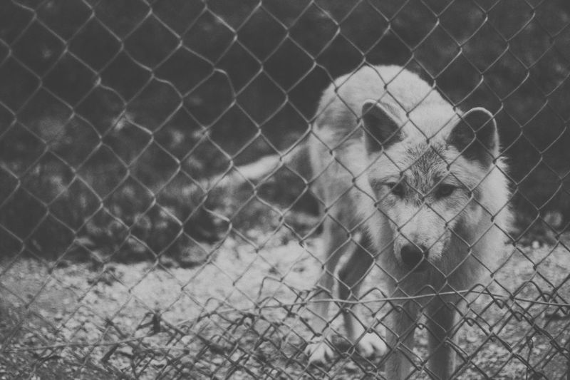 Wolfdog Taking Photos Enjoying Life Everyday Lives From My Point Of View Check This Out Black And White Traveling
